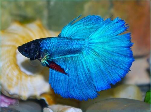 Виды лабиринтовых рыбок, их содержание и размножение