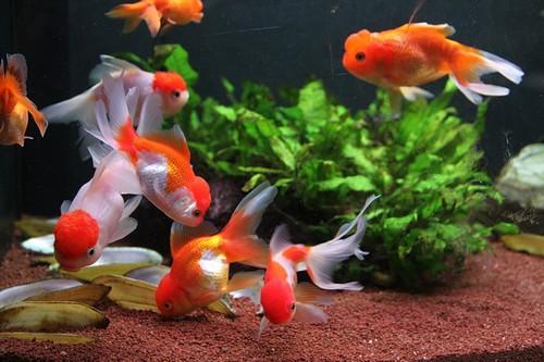 Описание аквариумных рыбок. Золотые рыбки