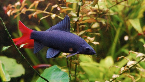 Описание аквариумных рыбок. Лабео