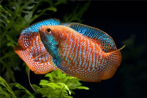 Описание аквариумных рыбок. Лялиус