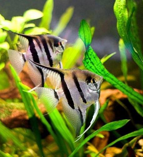 Описание аквариумных рыбок. Скалярии