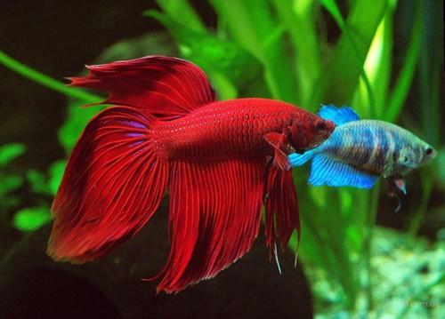 О разведении аквариумных рыбок