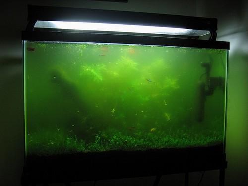 Цветение воды в аквариуме. Причины цветения и борьба с ним