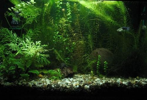 элодея в аквариуме