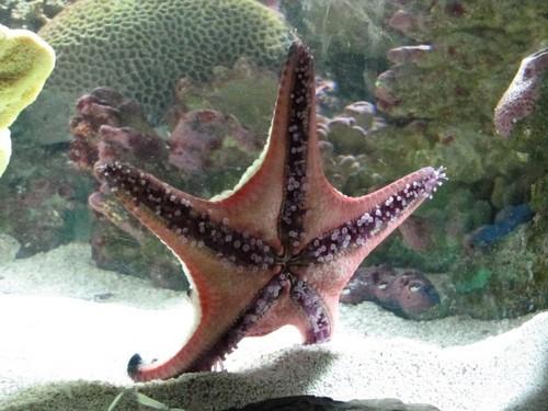 Морская звезда в аквариуме