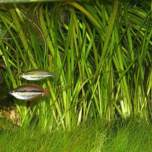 Описание аквариумных растений. Валлиснерия