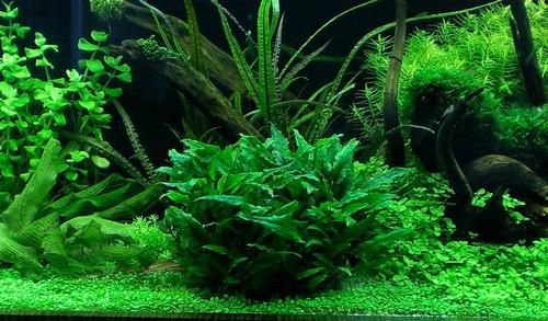 Описание аквариумных растений. Криптокорина