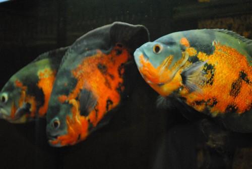 Описание аквариумных рыбок. Астронотус