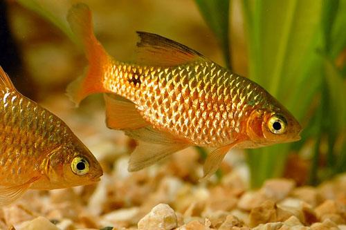 Описание аквариумных рыбок. Барбус