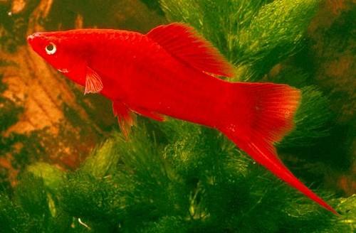 Описание аквариумных рыбок. Меченосец