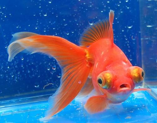 Описание аквариумных рыбок. Рыбка-телескоп