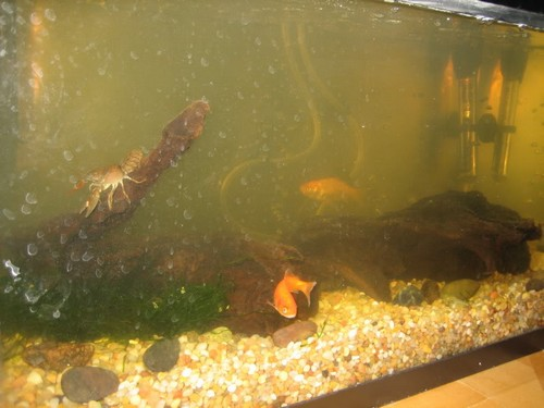 Почему быстро желтеет вода в аквариуме
