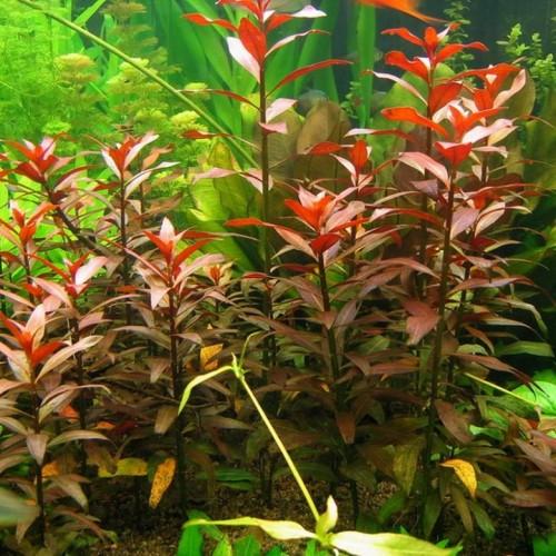 Описание аквариумных растений. Людвигия
