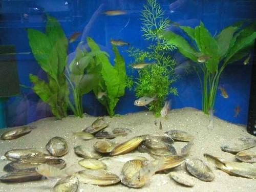 Мидии в аквариуме