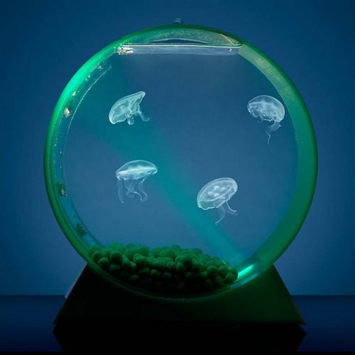 Чем кормить медузу в аквариуме
