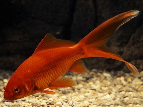 Описание аквариумных рыбок. Золотая рыбка Комета