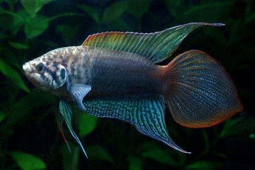 Описание аквариумных рыбок. Макропод
