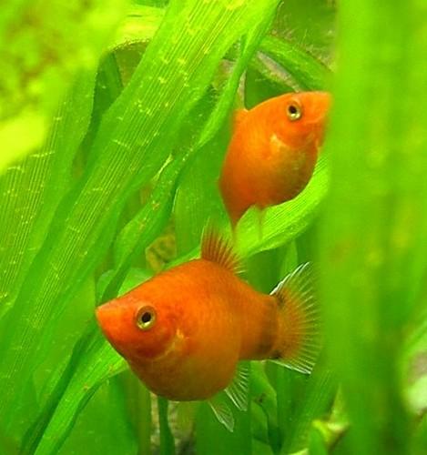 Описание аквариумных рыбок. Моллинезия