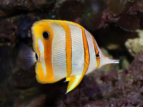 Описание аквариумных рыбок. Рыба-бабочка
