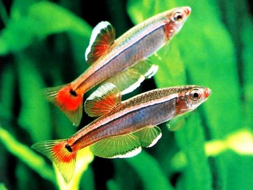 Описание аквариумных рыбок. Рыбка кардинал