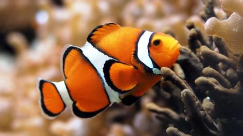 Описание аквариумных рыбок. Рыбка клоун