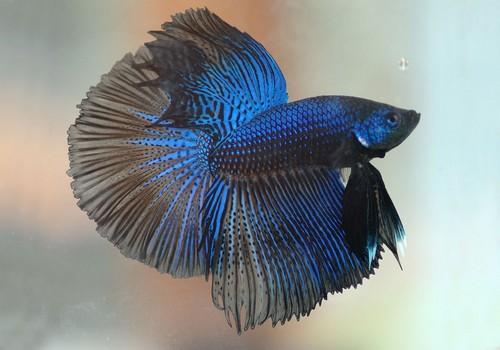 Описание аквариумных рыбок. Рыбка петушок