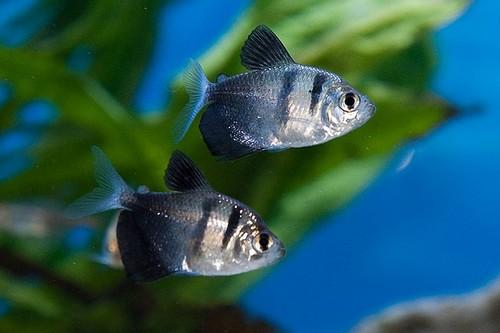 Описание аквариумных рыбок. Тернеция