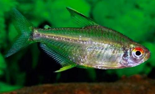 Описание аквариумных рыбок. Тетра