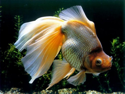 Описание аквариумных рыбок. Вуалехвост