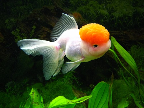 Описание аквариумных рыбок. Рыбка красная шапочка