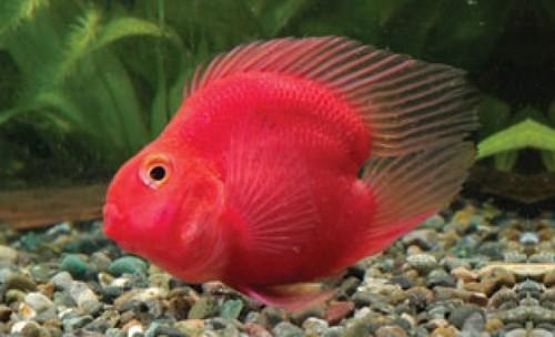 Описание аквариумных рыбок. Цихлида попугай