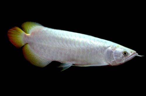 Описание аквариумных рыбок. Арована