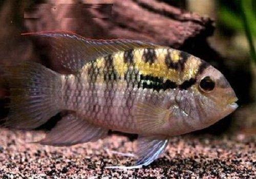Описание аквариумных рыбок. Акара перуанская