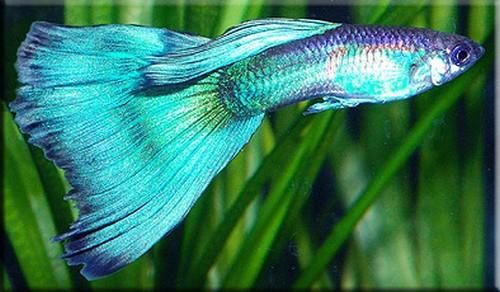 Описание аквариумных рыбок. Голубая кобра