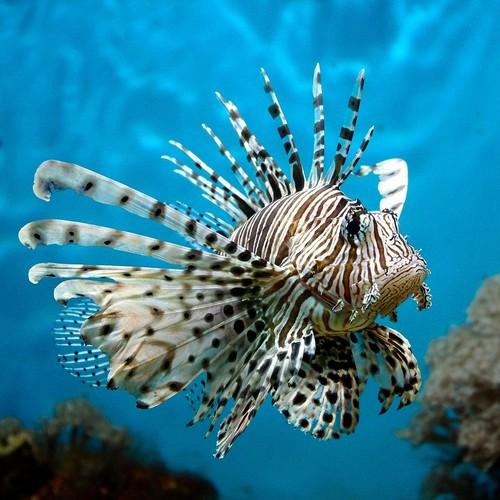 Описание аквариумных рыбок. Крылатка