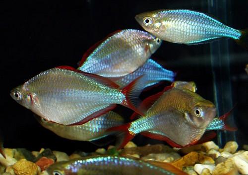 Описание аквариумных рыбок. Радужницы