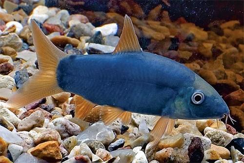 Описание аквариумных рыбок. Рыба Боция Модеста