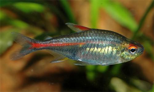 Описание аквариумных рыбок. Рыбка грими