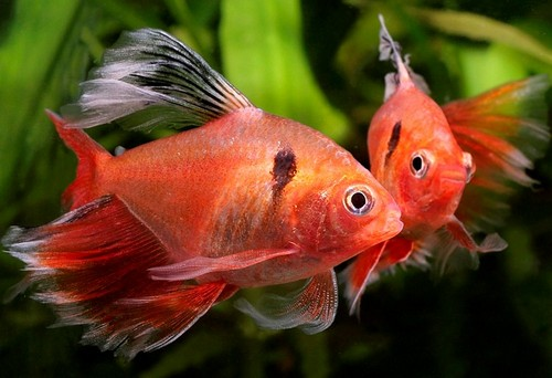 Описание аквариумных рыбок. Рыбка минор