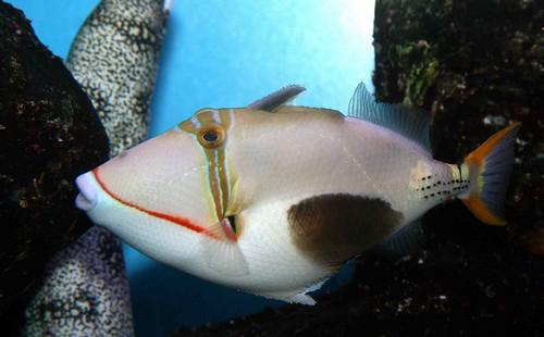 Описание аквариумных рыбок. Спинороги