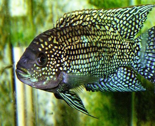 Описание аквариумных рыбок. Цихлазома
