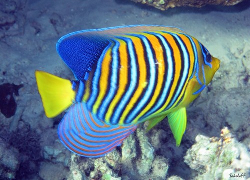 Описание аквариумных рыбок. Рыба-ангел