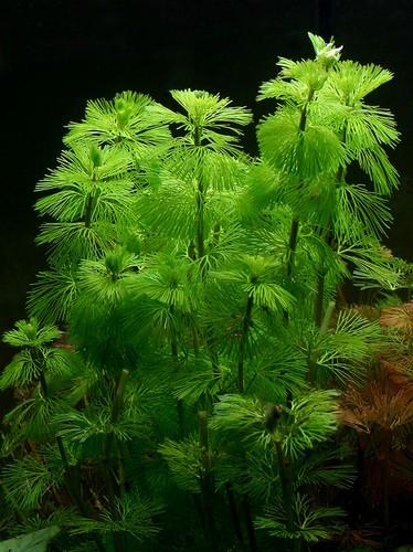 Описание аквариумных растений. Кабомба каролинская
