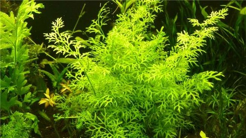 Описание аквариумных растений. Папоротник индийский