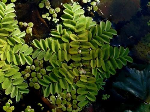 Описание аквариумных растений. Сальвиния плавающая