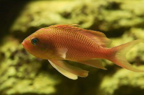 Описание аквариумных рыбок. Антиас