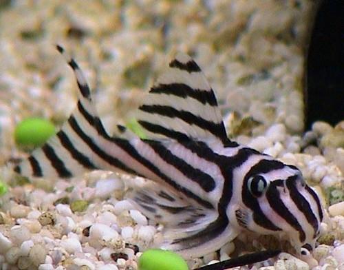 Описание аквариумных рыбок. Гипанциструс зебра