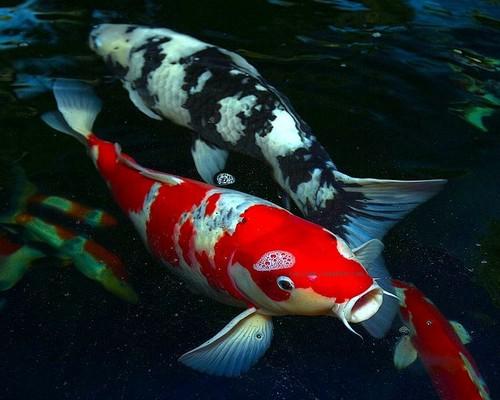 Описание аквариумных рыбок. Карпы кои в аквариуме