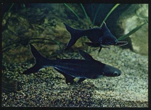 Описание аквариумных рыбок. Пангасиус аквариумный
