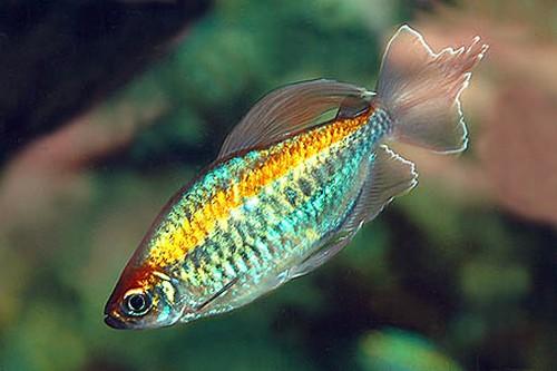 Описание аквариумных рыбок. Рыбка конго